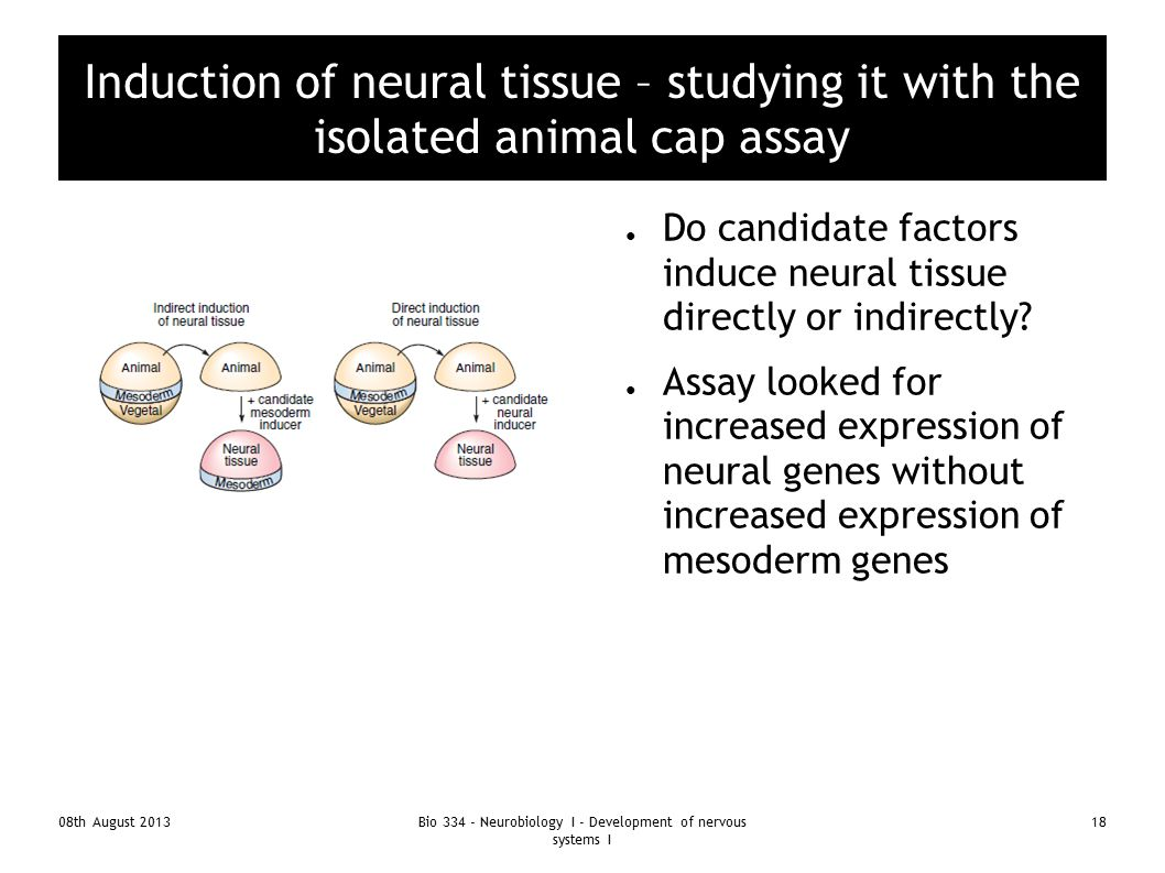 08th August 2013Bio 334 - Neurobiology I - Development of nervous systems I 18 Induction of neural tissue – studying it with the isolated animal cap a