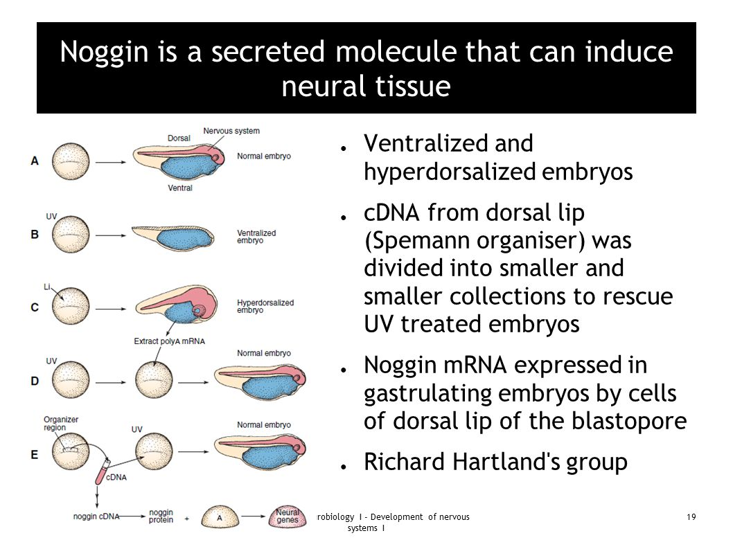 08th August 2013Bio 334 - Neurobiology I - Development of nervous systems I 19 Noggin is a secreted molecule that can induce neural tissue ● Ventraliz