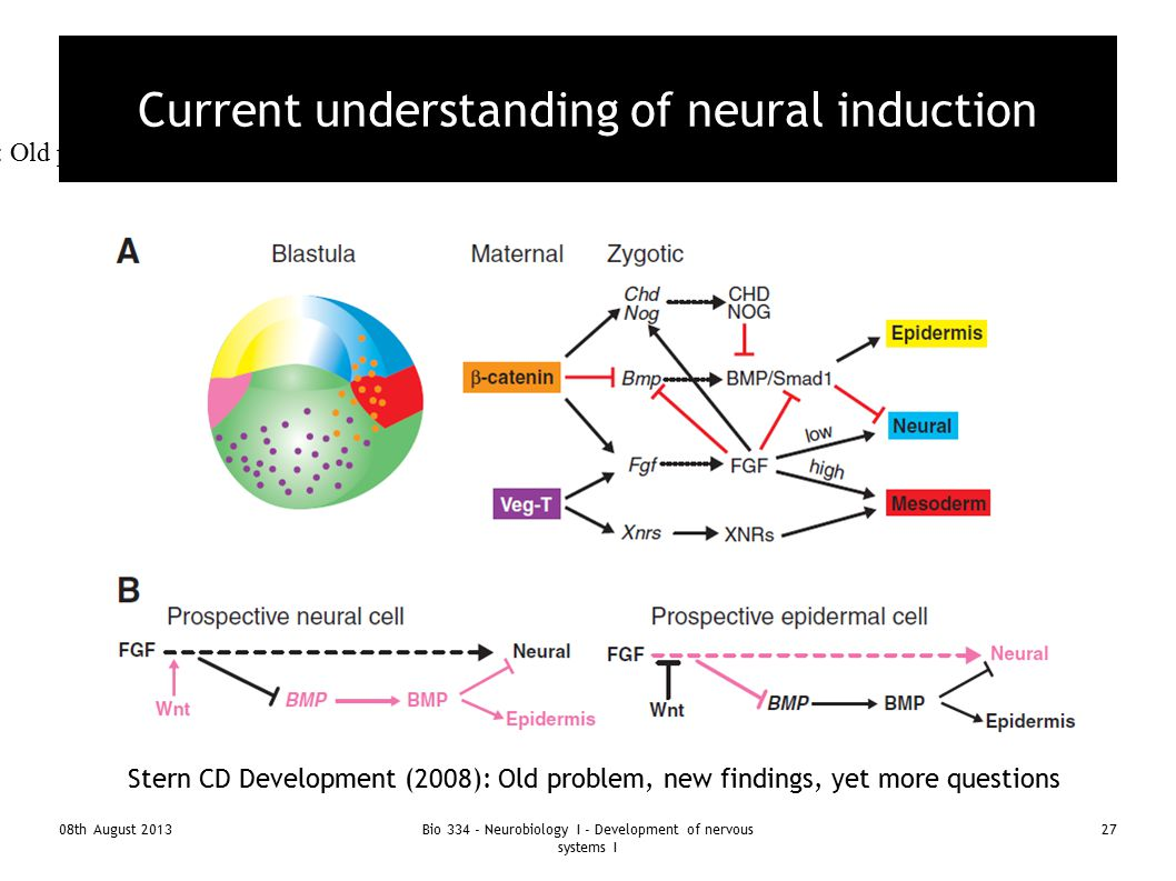 08th August 2013Bio 334 - Neurobiology I - Development of nervous systems I 27 Current understanding of neural induction Stern CD Development (2008):