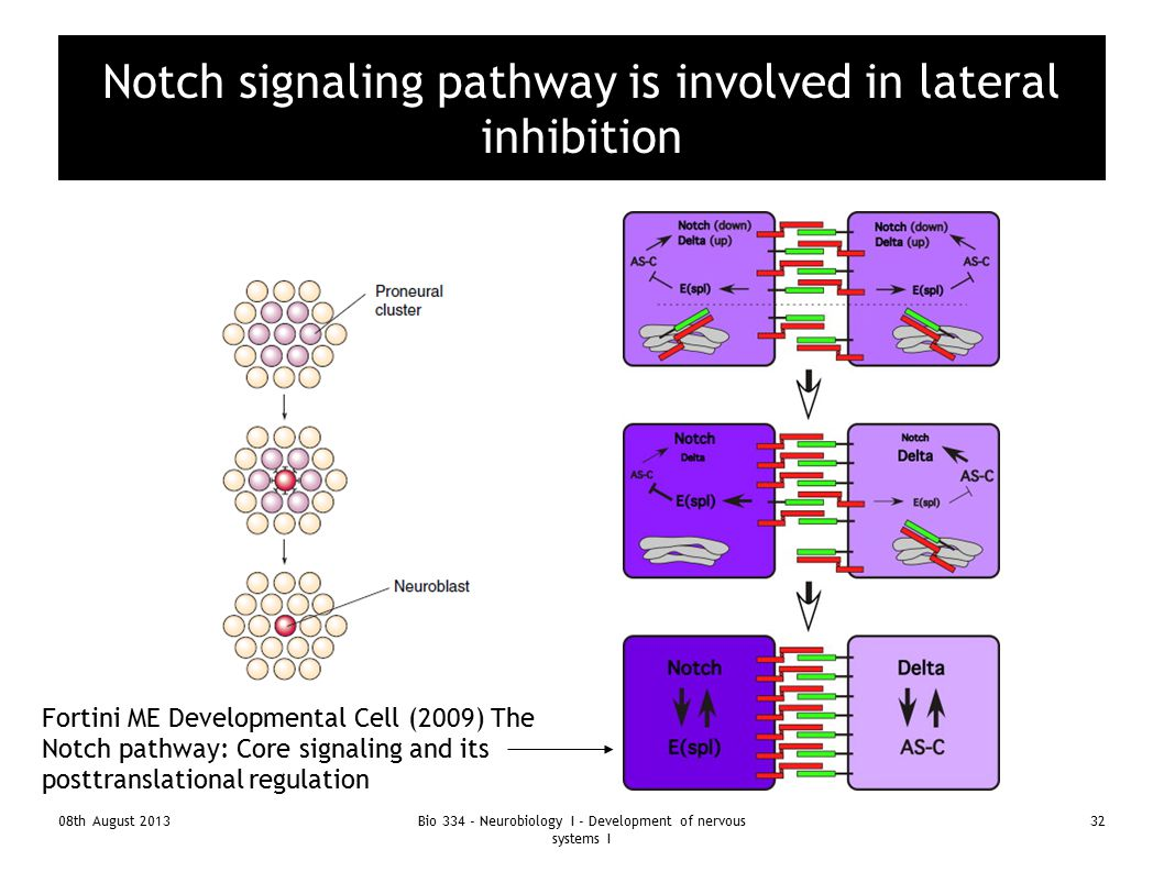 08th August 2013Bio 334 - Neurobiology I - Development of nervous systems I 32 Notch signaling pathway is involved in lateral inhibition Fortini ME De