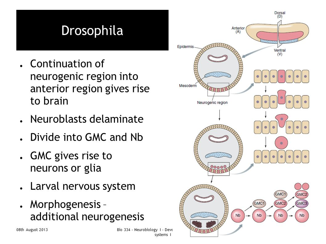 08th August 2013Bio 334 - Neurobiology I - Development of nervous systems I 9 Drosophila ● Continuation of neurogenic region into anterior region give