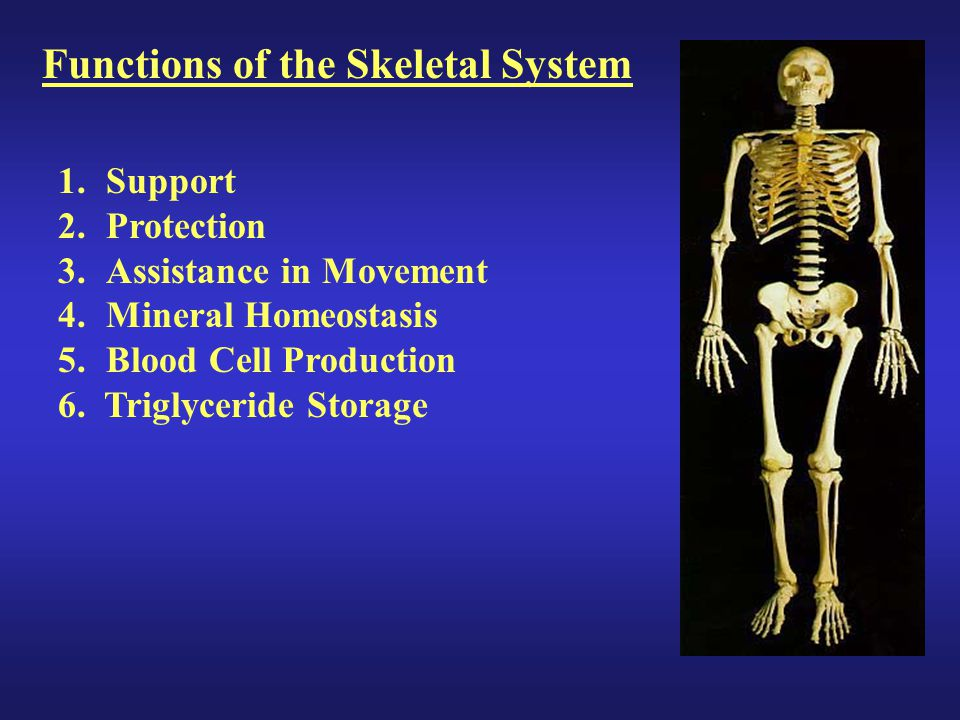 Functions of the Skeletal System 1.Support 2.Protection 3.Assistance in Movement 4.Mineral Homeostasis 5.Blood Cell Production 6. Triglyceride Storage