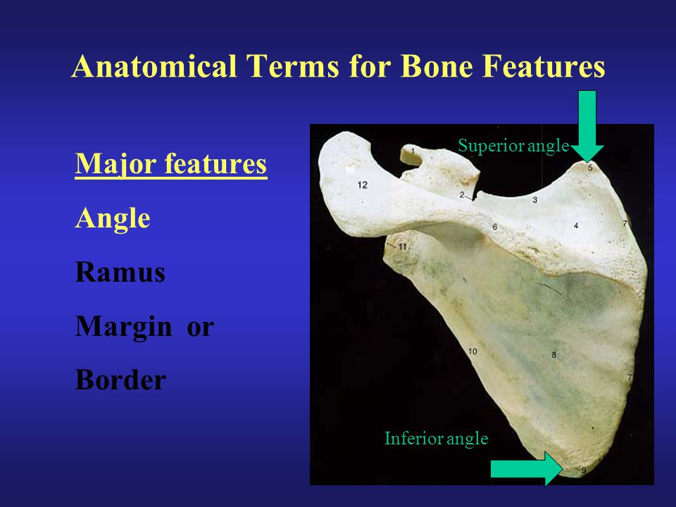 Anatomical Terms for Bone Features Major features Angle Ramus Margin or Border Inferior angle Superior angle