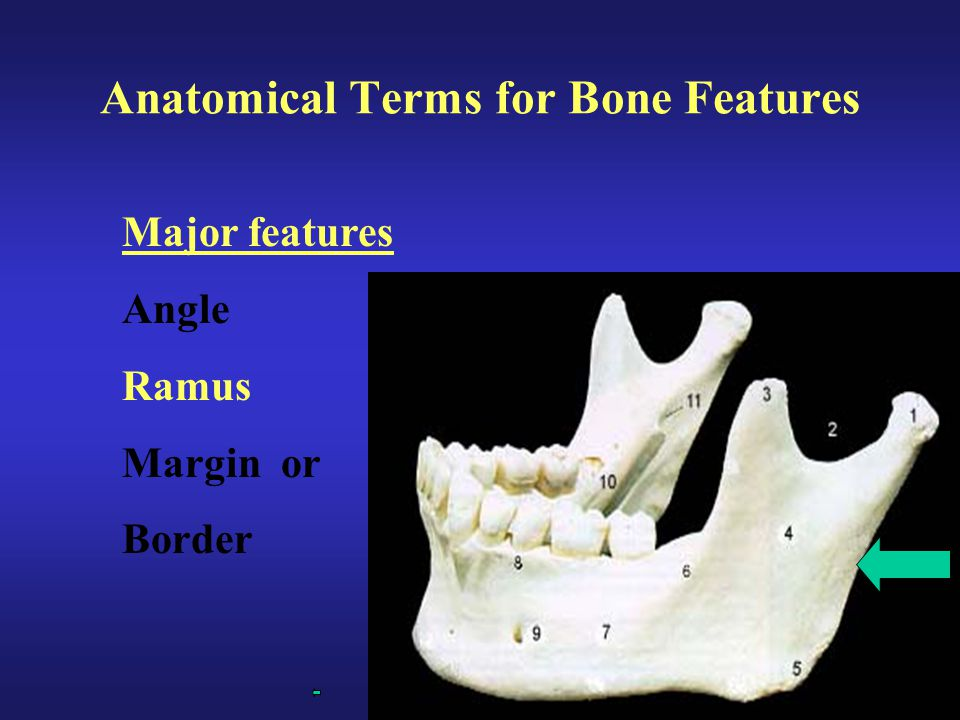 Anatomical Terms for Bone Features Major features Angle Ramus Margin or Border