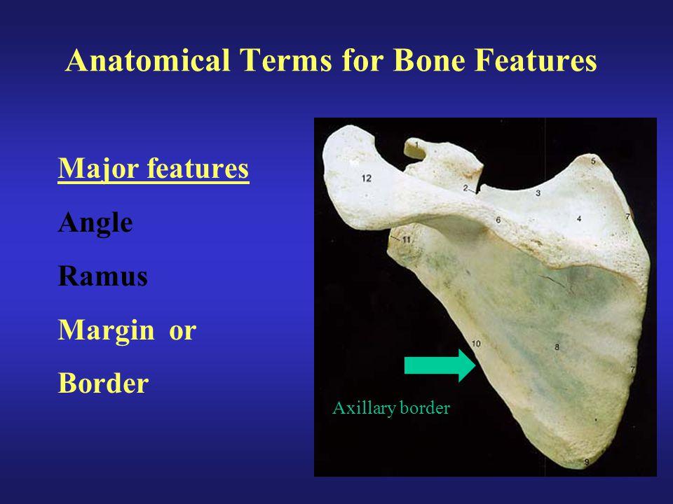 Anatomical Terms for Bone Features Major features Angle Ramus Margin or Border Axillary border