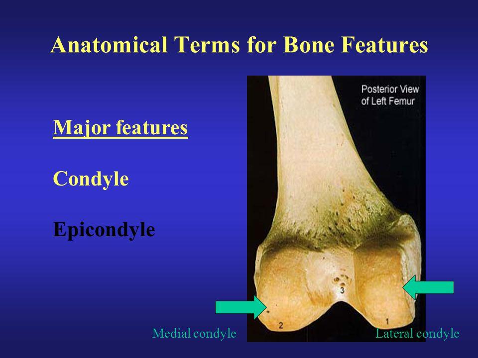 Anatomical Terms for Bone Features Major features Condyle Epicondyle Medial condyleLateral condyle
