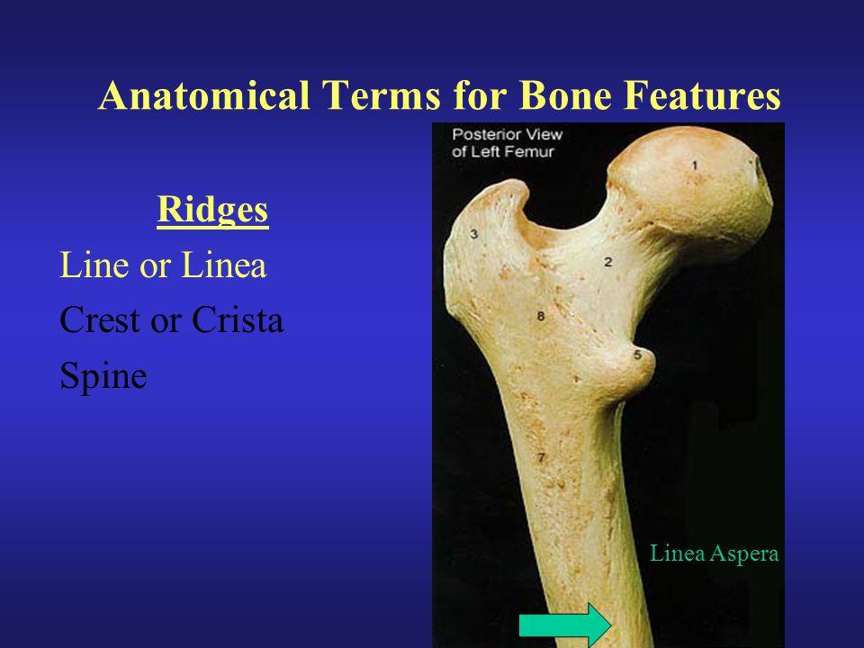 Anatomical Terms for Bone Features Ridges Line or Linea Crest or Crista Spine Linea Aspera