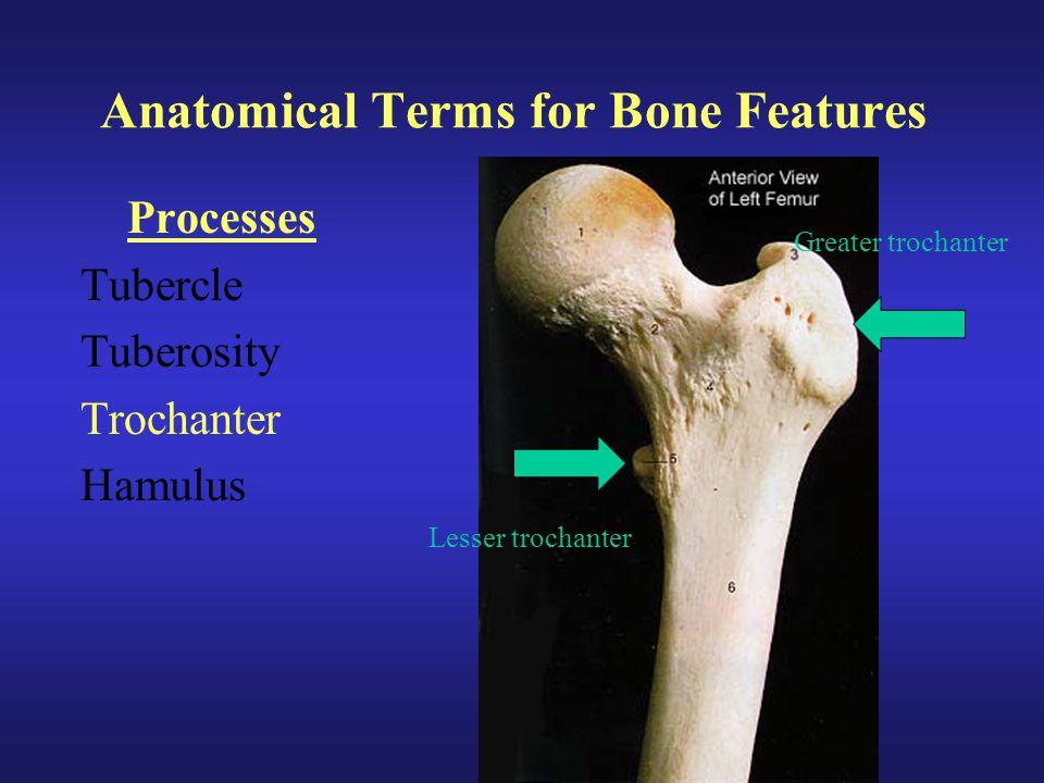 Anatomical Terms for Bone Features Processes Tubercle Tuberosity Trochanter Hamulus Greater trochanter Lesser trochanter