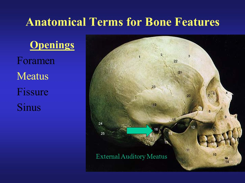 Anatomical Terms for Bone Features Openings Foramen Meatus Fissure Sinus External Auditory Meatus
