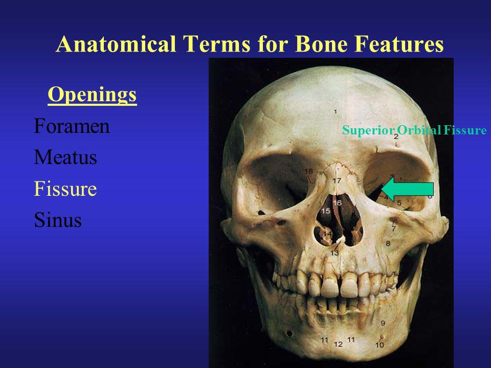 Anatomical Terms for Bone Features Openings Foramen Meatus Fissure Sinus Superior Orbital Fissure