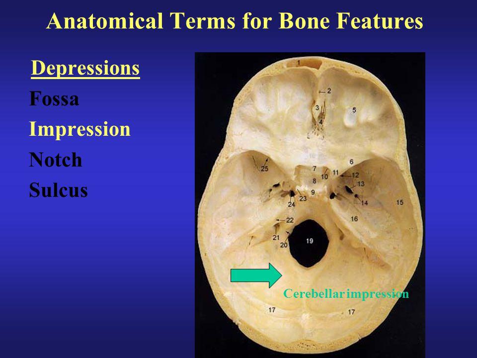 Anatomical Terms for Bone Features Depressions Fossa Impression Notch Sulcus Cerebellar impression