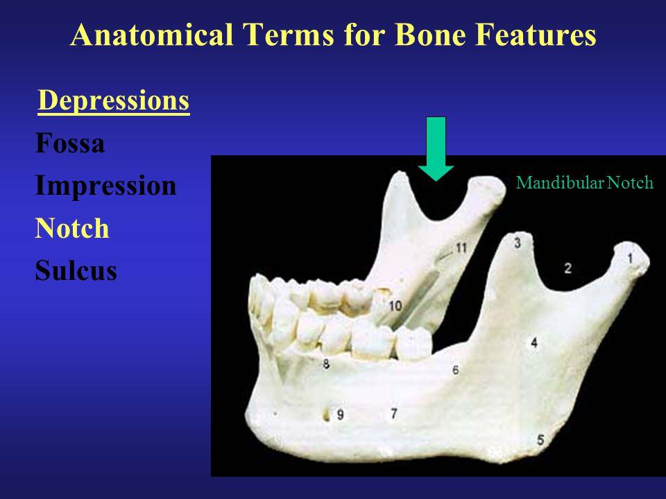 Anatomical Terms for Bone Features Depressions Fossa Impression Notch Sulcus Mandibular Notch