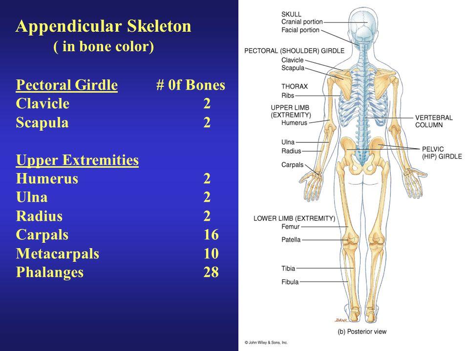 Appendicular Skeleton ( in bone color) Pectoral Girdle# 0f Bones Clavicle2 Scapula2 Upper Extremities Humerus2 Ulna2 Radius2 Carpals16 Metacarpals10 P