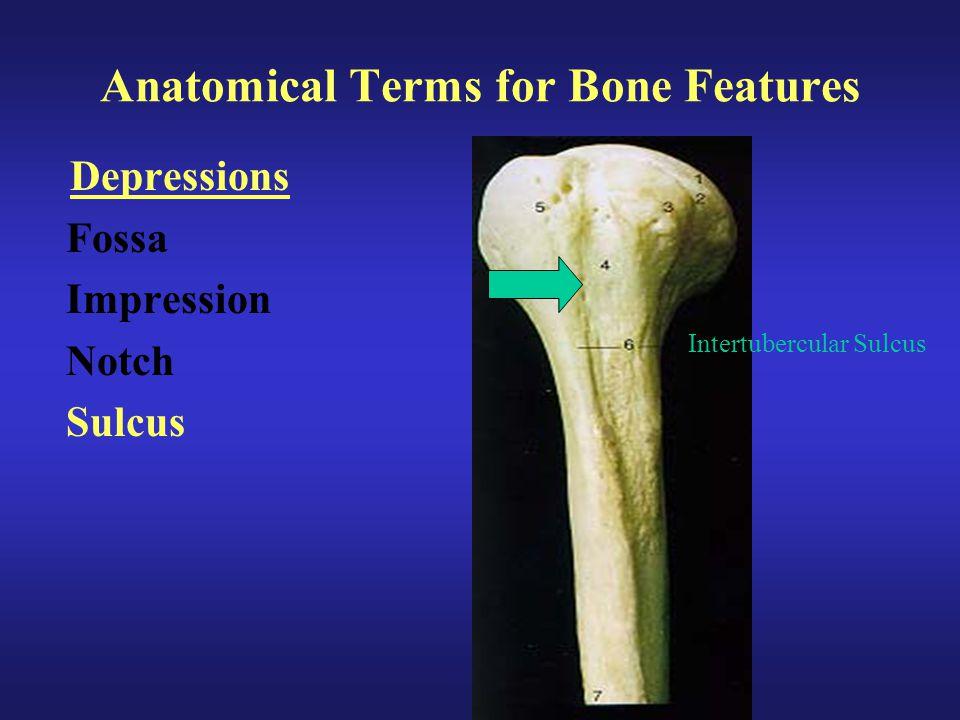 Anatomical Terms for Bone Features Depressions Fossa Impression Notch Sulcus Intertubercular Sulcus