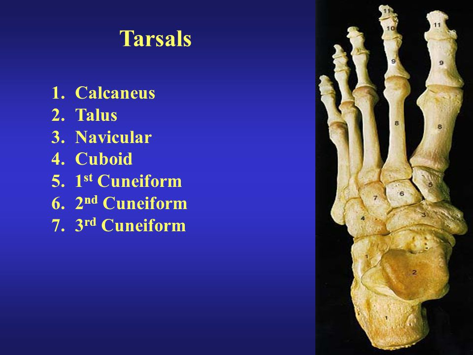 Tarsals 1.Calcaneus 2.Talus 3.Navicular 4.Cuboid 5. 1 st Cuneiform 6.2 nd Cuneiform 7.3 rd Cuneiform