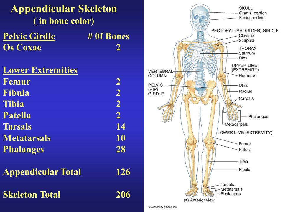 Appendicular Skeleton ( in bone color) Pelvic Girdle# 0f Bones Os Coxae2 Lower Extremities Femur2 Fibula2 Tibia2 Patella2 Tarsals14 Metatarsals10 Phal
