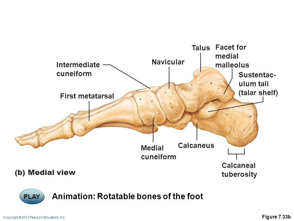 Copyright © 2010 Pearson Education, Inc. Figure 7.33b Facet for medial malleolus Calcaneal tuberosity (b) Medial view Intermediate cuneiform Sustentac