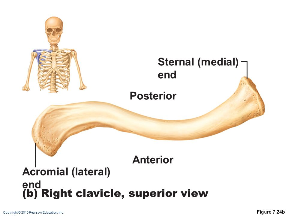 Copyright © 2010 Pearson Education, Inc. Figure 7.24b Acromial (lateral) end (b)Right clavicle, superior view Posterior Sternal (medial) end Anterior