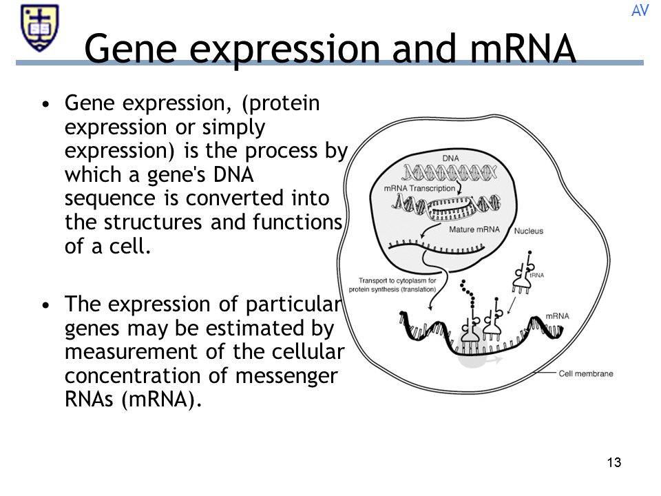 13 Gene expression and mRNA Gene expression, (protein expression or simply expression) is the process by which a gene s DNA sequence is converted into the structures and functions of a cell.