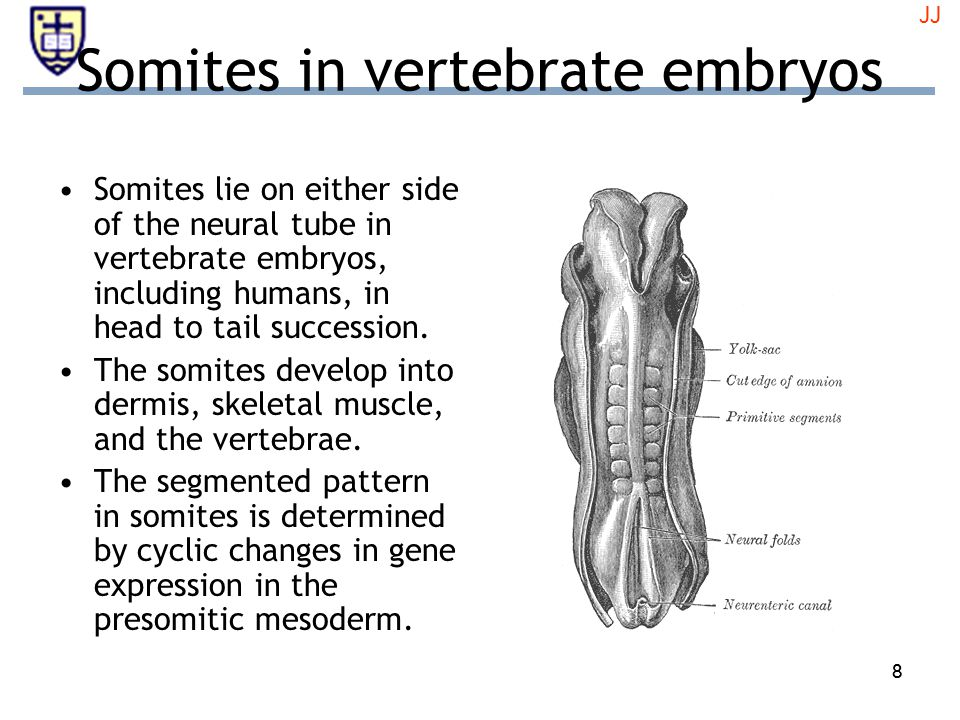 88 Somites in vertebrate embryos Somites lie on either side of the neural tube in vertebrate embryos, including humans, in head to tail succession.