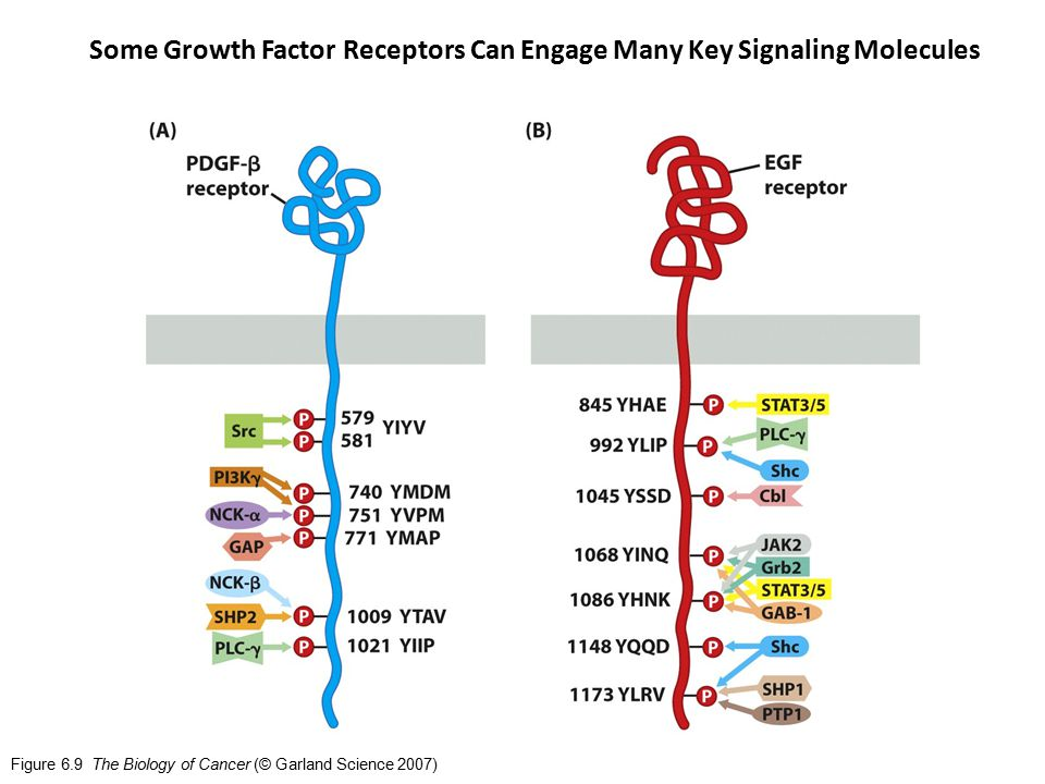 Figure 6.9 The Biology of Cancer (© Garland Science 2007) Some Growth Factor Receptors Can Engage Many Key Signaling Molecules