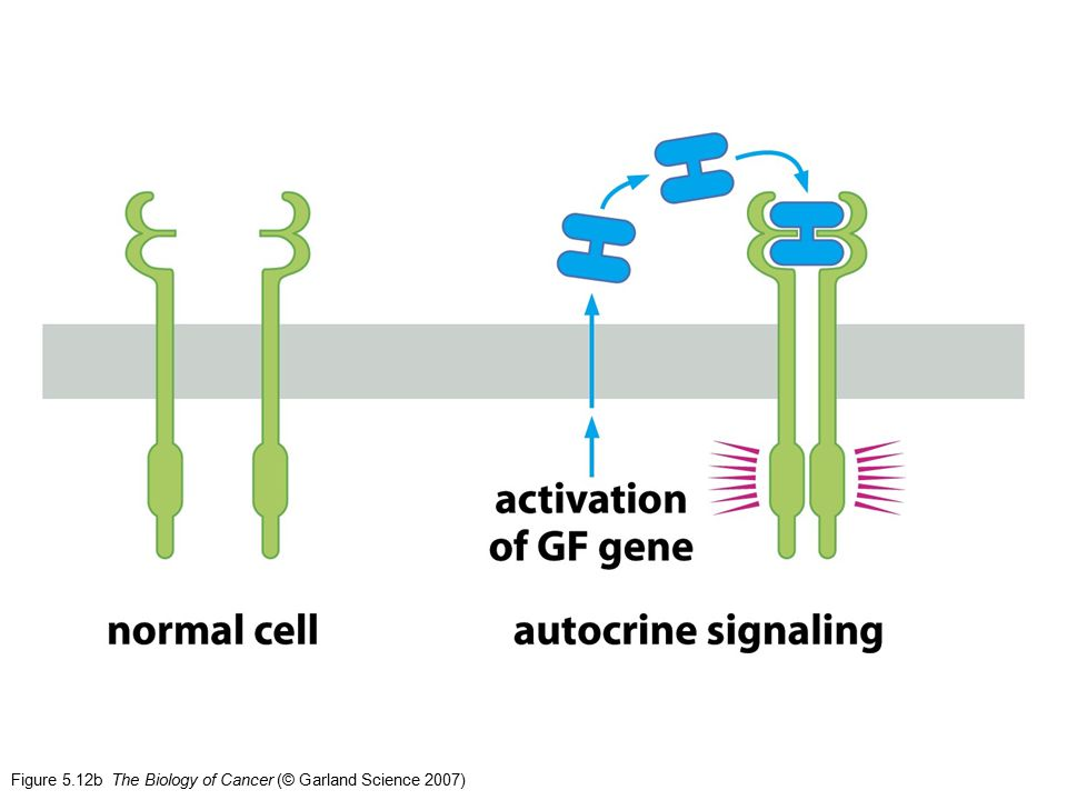 Figure 5.12b The Biology of Cancer (© Garland Science 2007)