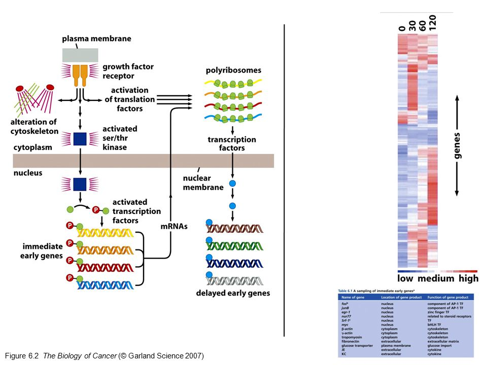 Figure 6.2 The Biology of Cancer (© Garland Science 2007)