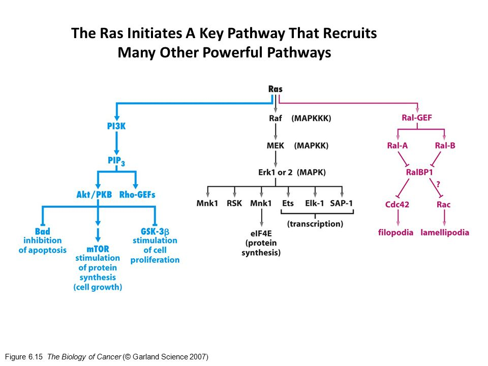 Figure 6.15 The Biology of Cancer (© Garland Science 2007) The Ras Initiates A Key Pathway That Recruits Many Other Powerful Pathways