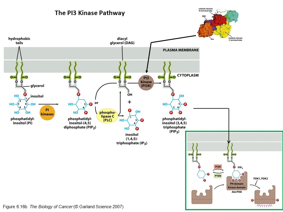 Figure 6.16b The Biology of Cancer (© Garland Science 2007) The PI3 Kinase Pathway