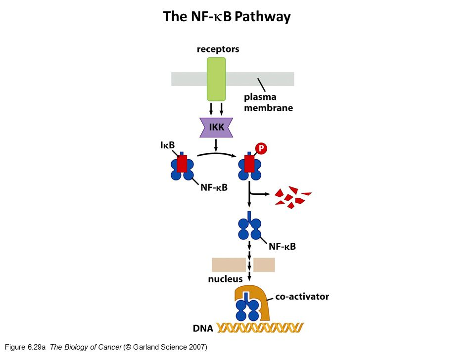 Figure 6.29a The Biology of Cancer (© Garland Science 2007) The NF-  B Pathway