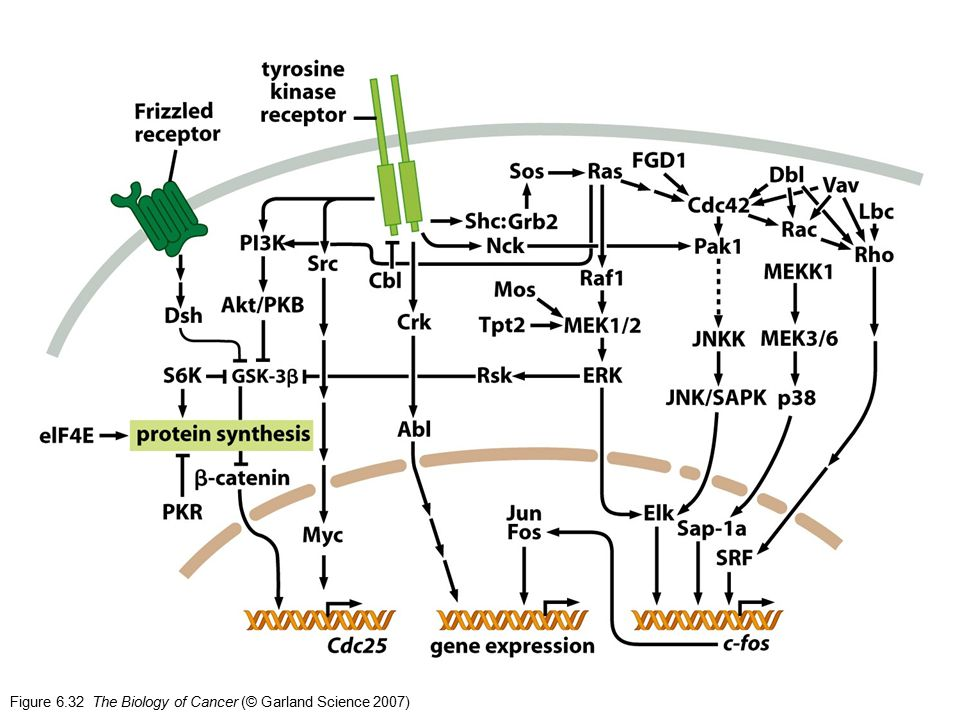 Figure 6.32 The Biology of Cancer (© Garland Science 2007)