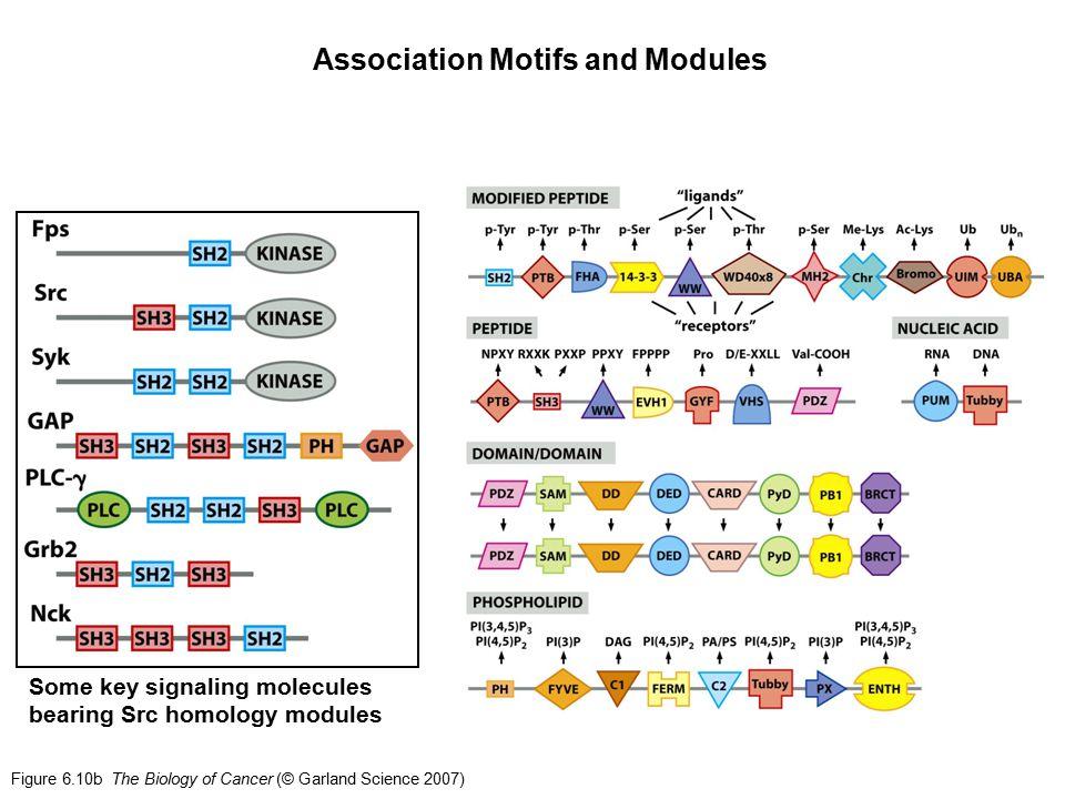 Figure 6.10b The Biology of Cancer (© Garland Science 2007) Association Motifs and Modules Some key signaling molecules bearing Src homology modules