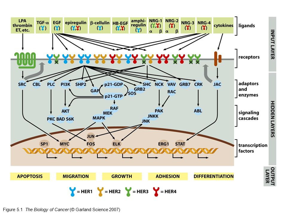 Figure 5.1 The Biology of Cancer (© Garland Science 2007)