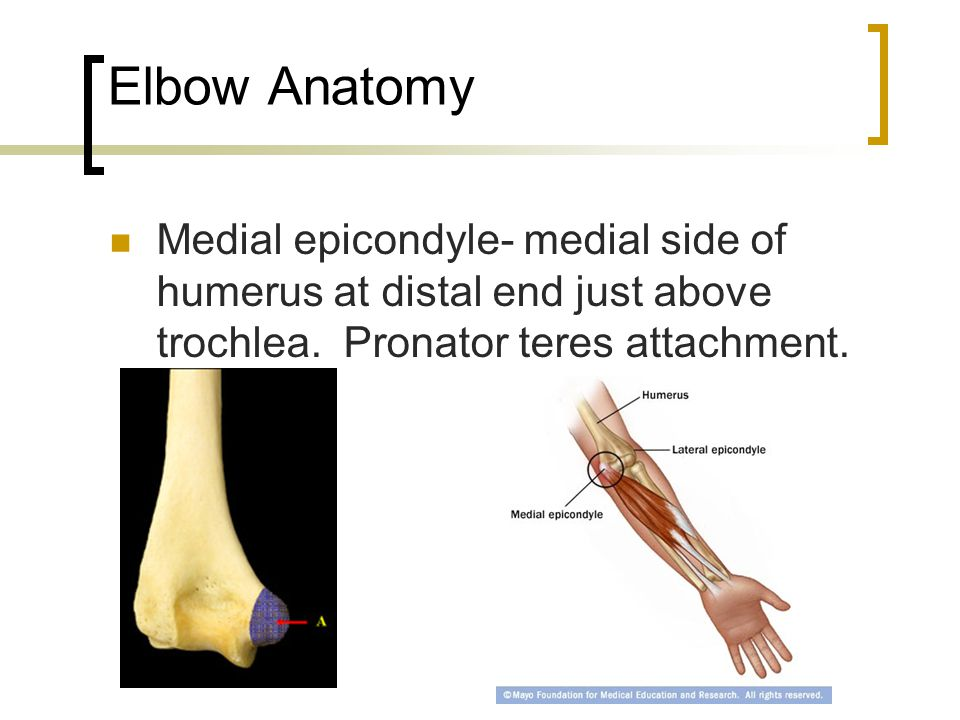 Elbow Anatomy Medial epicondyle- medial side of humerus at distal end just above trochlea. Pronator teres attachment.