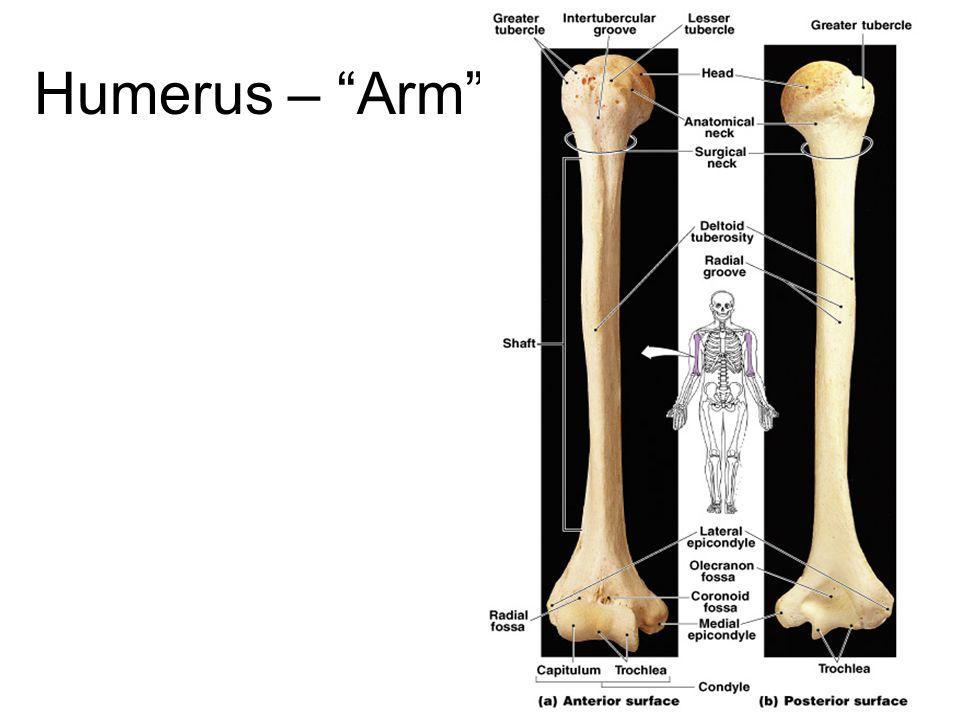 "Humerus – ""Arm"""