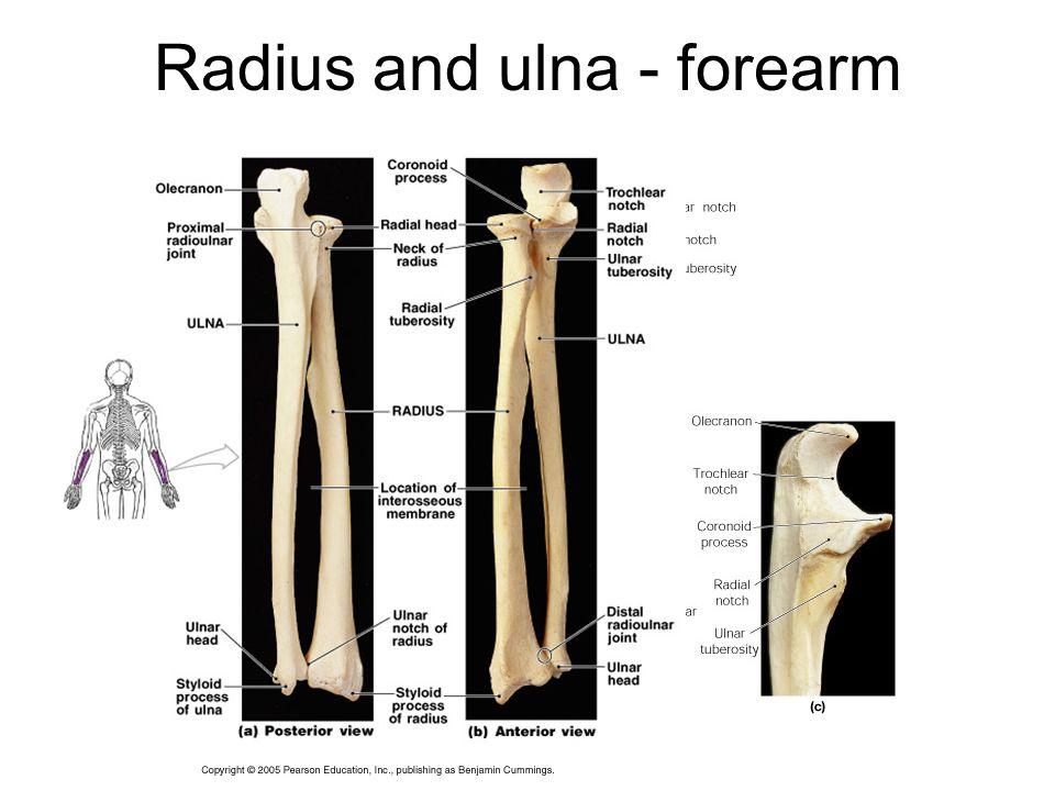 Radius and ulna - forearm