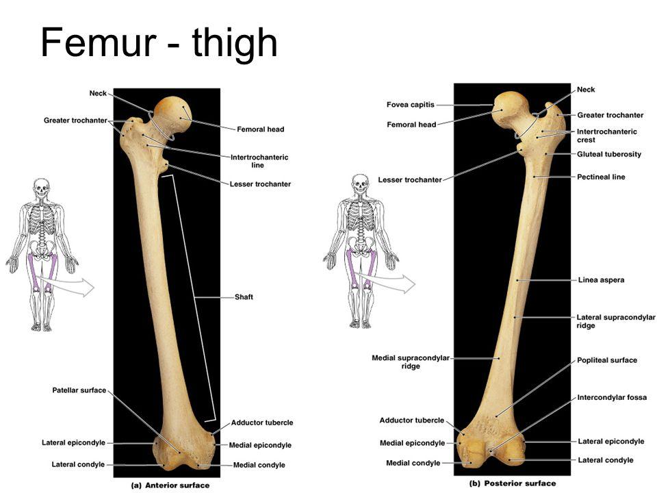 Femur - thigh