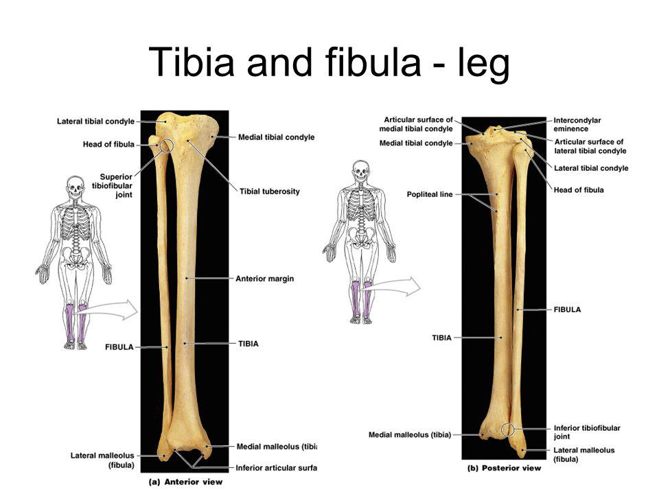 Tibia and fibula - leg