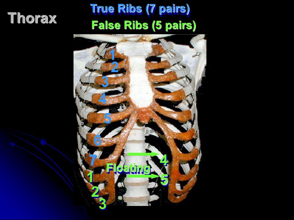 Thorax True Ribs (7 pairs) 1 2 3 4 5 6 7 7 1 1 3 3 2 2 4 4 55 FloatingFloating False Ribs (5 pairs)