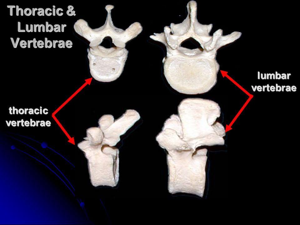 Thoracic & Lumbar Vertebrae lumbar vertebrae thoracic vertebrae