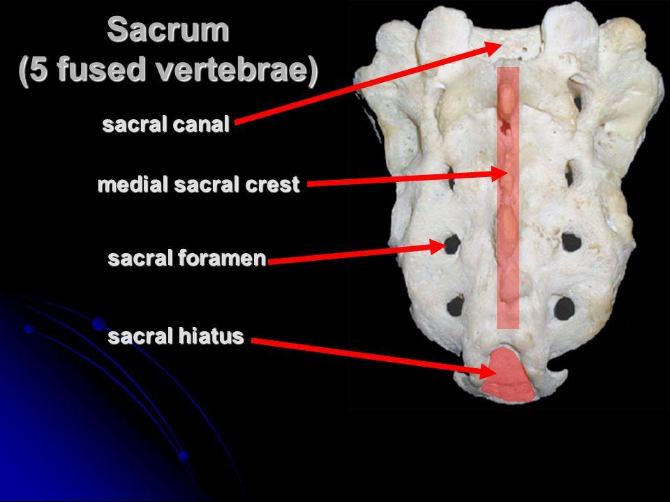 sacral foramen sacral hiatus sacral canal medial sacral crest Sacrum (5 fused vertebrae)