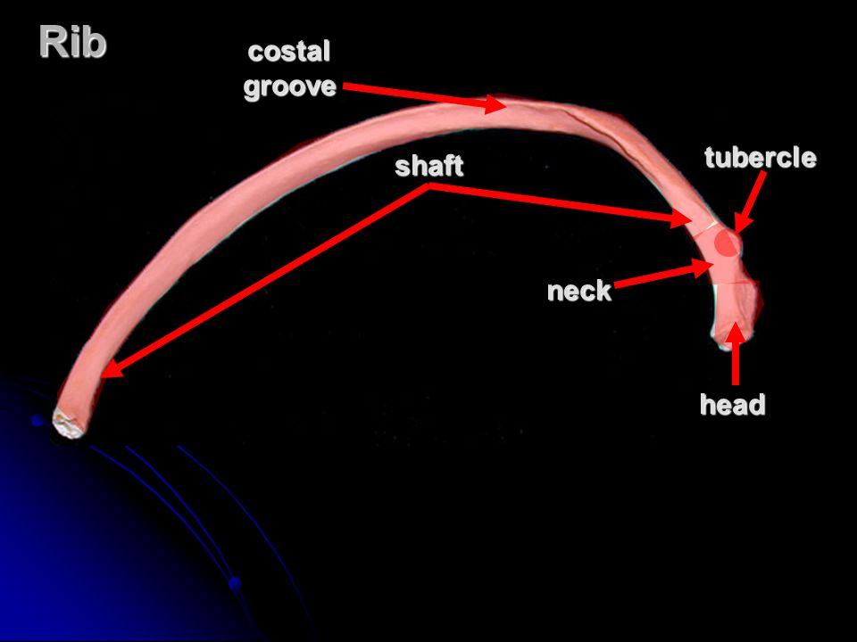 Rib neck tubercle costal groove shaft head