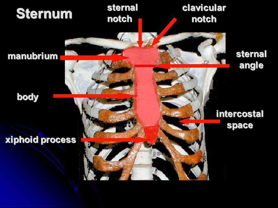 Sternummanubrium clavicular notch sternal notch xiphoid process body sternal angle intercostal space