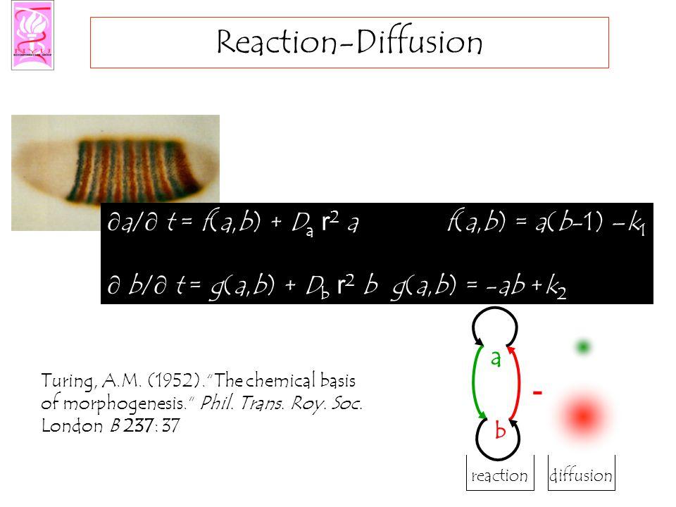 Reaction-Diffusion  a/  t = f(a,b) + D a r 2 a f(a,b) = a(b-1) –k 1  b/  t = g(a,b) + D b r 2 b g(a,b) = -ab +k 2 reactiondiffusion a b - Turing,