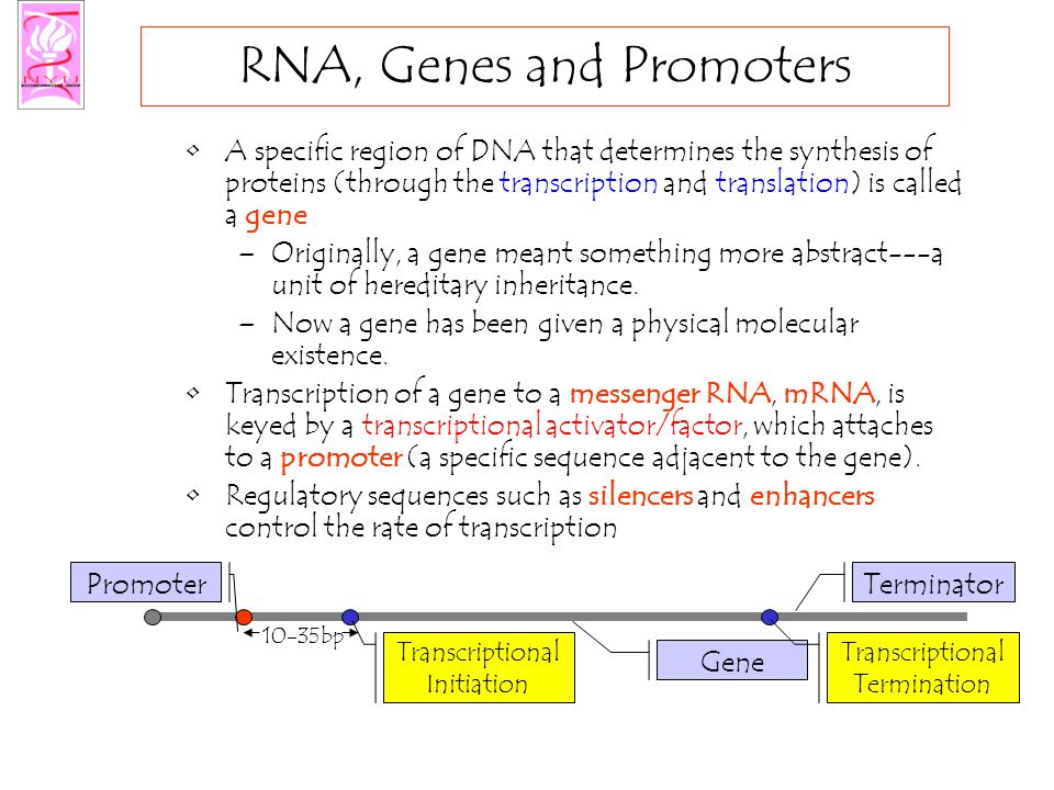 RNA, Genes and Promoters A specific region of DNA that determines the synthesis of proteins (through the transcription and translation) is called a gene –Originally, a gene meant something more abstract---a unit of hereditary inheritance.
