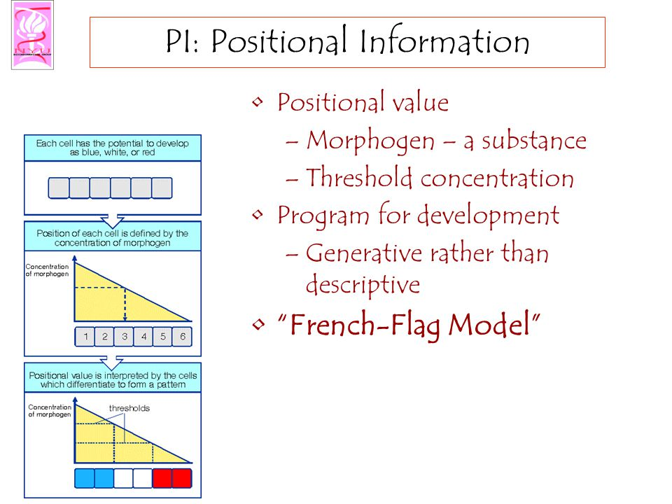 PI: Positional Information Positional value –Morphogen – a substance –Threshold concentration Program for development –Generative rather than descriptive French-Flag Model