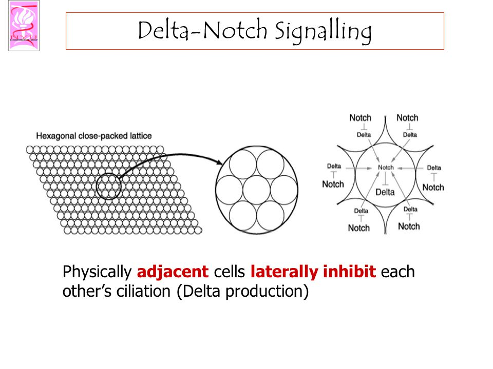 Delta-Notch Signalling Physically adjacent cells laterally inhibit each other's ciliation (Delta production)