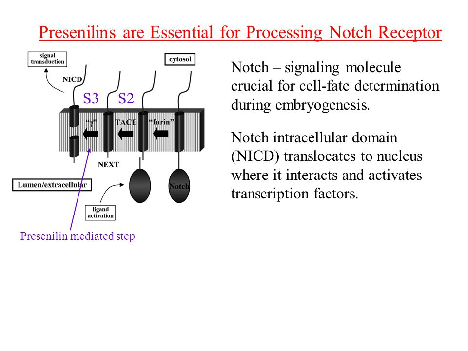 Presenilins are Essential for Processing Notch Receptor S2S3 Presenilin mediated step Notch – signaling molecule crucial for cell-fate determination during embryogenesis.