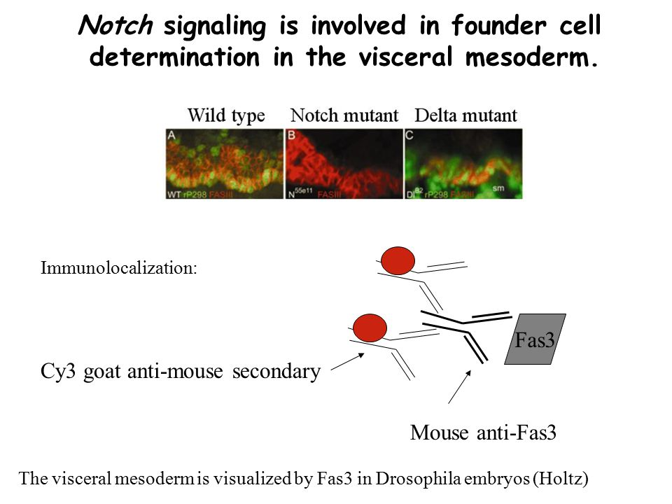 Notch signaling is involved in founder cell determination in the visceral mesoderm.