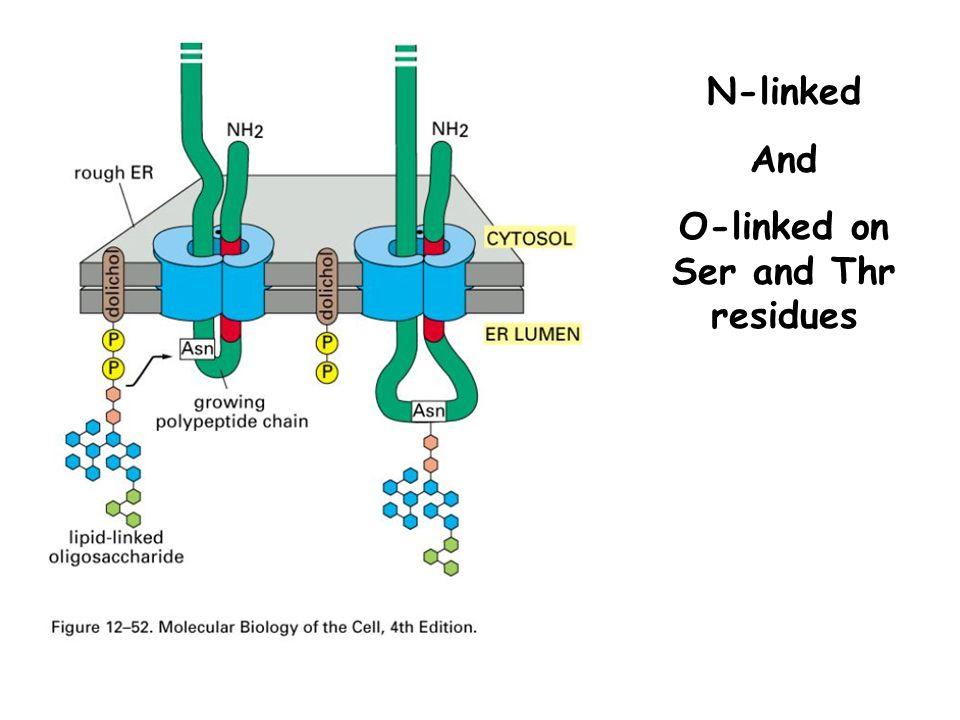 Glycosylation can be regulatory